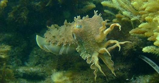 whyalla cuttlefish -