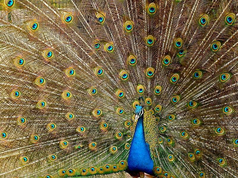 peacock-homepage-philosophy-of-biology